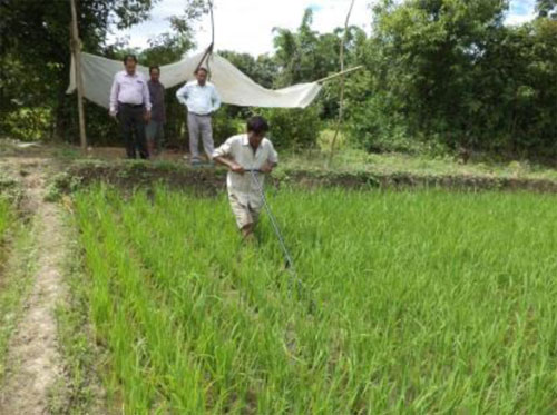 Seed production of rice