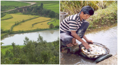 A rice-fish farming system in hills of Manipur